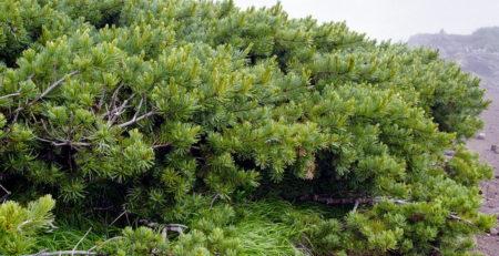 sibirsko drvo